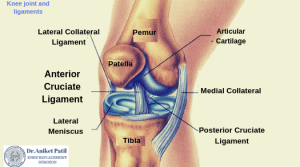 knee joint and ligaments